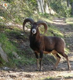 #Mouflon ( #muflone) 4 years old from #Sardinia. The mouflon is thought to be one of two original ancestors of all modern day sheep. Like most wild sheep, the mouflon lives in mountainous terrain, usually above the tree line or in mountain meadows.