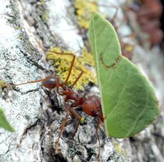 Learn more about the coolest ant I know - the Leafcutter Ant! They depend on the rainforest for their survival.  Species Profiles | Rainforest Alliance