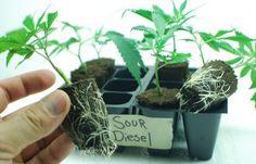Learn to Clone Cannabis Like the Pros! Hydroponic Growing, Hydroponic Gardening, Hydroponics, Weed Plants, Marijuana Plants, Medical Benefits Of Cannabis, Medical Marijuana, Growing Weed