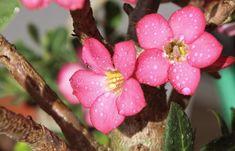 How to Care For The Beautiful Desert Rose Desert Rose, Rose, Flowers, Garden Design, Plants, Urban Garden, Adenium, Planting Flowers, Garden Projects