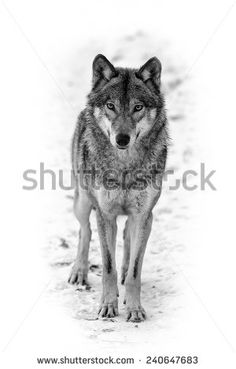 Eurasian wolf black and white - stock photo Wolf Images, Wolf Photos, Wolf Pictures, Animal Sketches, Animal Drawings, Wolf Black And White, White Fur, Eurasian Wolf, Wolf Clipart
