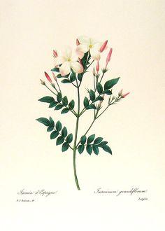 jasmine flower artwork - Google Search