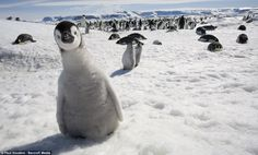 An Emperor Penguin chick staring at the camera.