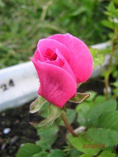 ibridatori per caso: rose