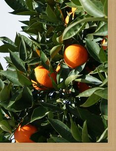 Orange Fruit, Green And Orange, Clem, Orange Grove, Fruit Photography, Orange Aesthetic, Picture Wall, Aesthetic Pictures, Green Leaves