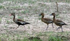 Black-bellied Whistling-Duck Dendrocygna autumnalis Transpantanal Highway, Mato Grosso state, Brazil. Adult on the left, two juveniles on the right