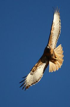Birds of Prey - peregrineflier's Photos