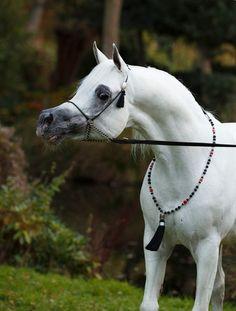 """ETERNITY IBN NAVARRONE-D  (Ansata Sinan × Navarrone """"P"""")  1997 Grey Stallion"""