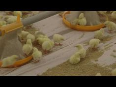 Osztályok Chicken Story, Pig Feed, Poultry Farming, Hens And Chicks, Rooster, Management, Entertainment, Videos, Youtube
