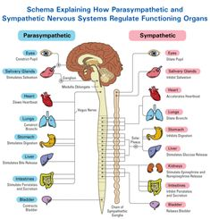 "The Autonomic Nervous System Divide: The Sympathetic nervous system ganglia are closely linked, acting as a single system or in ""sympathy"" with one another. The parasympathetic nervous system ganglia are not closely linked & act more independently & has opposite effects e.g. recovery, decreased heart rate, increased digestion, & conserves energy."