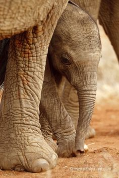 Africa | A well protected elephant calf. Tsavo East, Kenya | ©Christine and Michel Denis Huot
