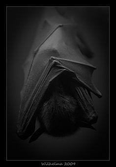 It's a bat! Yeah, I'm pretty sure it's a bat. Amor Animal, Mundo Animal, Beautiful Creatures, Animals Beautiful, Cute Animals, Noir Ebene, Photo Animaliere, Creatures Of The Night, Shades Of Black