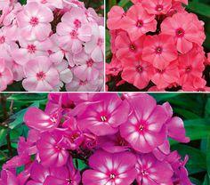 A sweet-smelling Garden Phlox Trio! $47.95