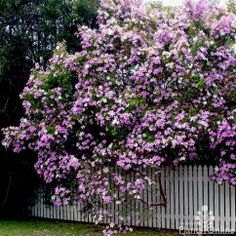 Tibouchina mutabilis 'Noelene' Pretty white buds open to pink blossoms on this big evergreen shrub. Plant as a feature or shade tree in frost free sites. Will reach 6m full-grown so plant with this in mind. #flowering  #pink #feature #hedge
