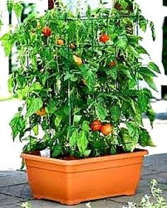 How to Grow Vegetables in Pots and Containers - Tips, Guides, Facts. I'm growing a tomato plant in a container this year...it's blooming now!