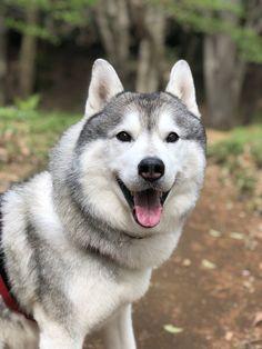 Wonderful All About The Siberian Husky Ideas. Prodigious All About The Siberian Husky Ideas. Alaskan Husky, Alaskan Malamute, Siberian Husky Funny, Siberian Huskies, Husky Tumblr, Big Fluffy Dogs, Wolf Husky, Malamute Dog, Most Beautiful Dogs