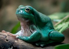 White's tree frog by Craig Chaddock
