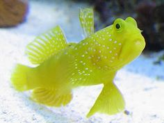 "Yellow Prawn Goby / Yellow Watchman Goby (Cryptocentrus cinctus) - peaceful, reef safe - minimum tank size is 30g (36"" aquarium length)"