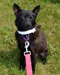 Meet Frenchie, a Petfinder adoptable Schipperke Dog | Fargo, ND | var switchTo5x=false;stLight.options({publisher:'56e40c2a-2928-4a92-9903-c88366473aa8'});If you...