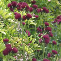 Cirsium rivulare atropurpureum Intense flowers of burgundy, shaped like little thistles sit on top of tall upright stems above long mid-green leaves. 90cm x 75cm June to September