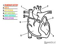 Anatomy Coloring Pages Middle School Coloring Pages For All Ages
