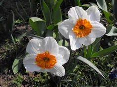 Tavasz a kertemben. Spring in my garden.