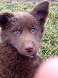 bernese mountain dog husky mix - Google Search