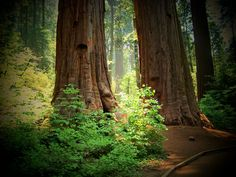 Redwood Forrest - one of the few places in America that I haven