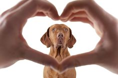 human hand forming a heart shape frame in the foreground with a golden dog in the middle on white background