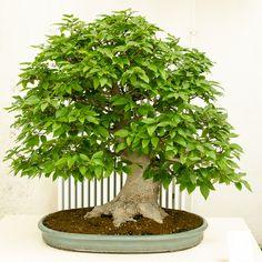 junischnee serissa foetida als bonsai baum bonsai gestaltung pflege pinterest bonsai. Black Bedroom Furniture Sets. Home Design Ideas