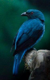 Blue Dacnis (Dacnis cayana)
