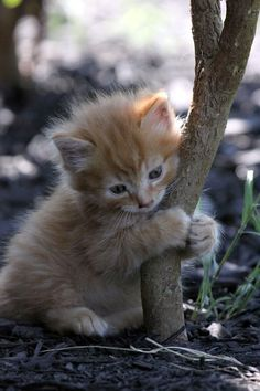 """Mine"" ~ Ginger kitty's very own tree ♥"