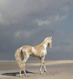 Akhal Teke the most shinny horses! There are only 7000 Akhal Teke horses in the world! Most Beautiful Horses, All The Pretty Horses, Beautiful Gorgeous, Simply Beautiful, Beautiful Things, Beautiful Creatures, Animals Beautiful, Cute Animals, Photo Desert