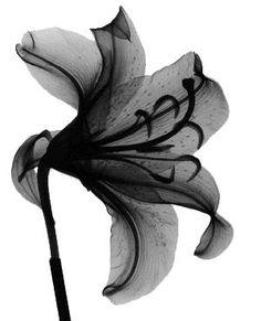lily - albert g. richards