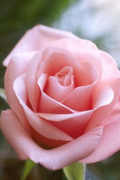 If you are thinking of rose gardening don't let this rumor stop you. While rose gardening can prove to be challenging, once you get the hang of it, it really isn't that bad. Most Beautiful Flowers, My Flower, Pretty Flowers, Simple Flowers, Beautiful Beautiful, Pink Roses, Pink Flowers, Pale Pink, Foto Rose