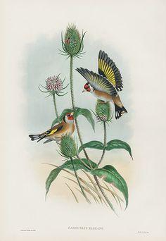 John Gould - Carduelis Elegans - Goldfinch - Birds of Great Britain - 1862