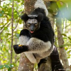 Protect the habitat of the Indri Lemur in Madagascar