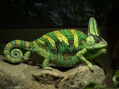 Patterns of the veiled chameleon, Chamaeleo calyptratus, evolved for camouflage and to signal mood and breeding condition. Baby Chameleon, Veiled Chameleon, Karma Chameleon, Chameleon Lizard, Chameleon Color, Geckos, Pinterest Baby, Colorful Lizards, Camouflage
