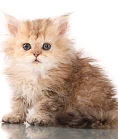 SELKIRK REX cutest cat alive!