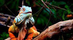 ps-pictureshop: Leguan, iguana, Iguana, İguana, ігуана, iguaan