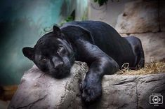 Одноклассники Black Jaguar chillin'.