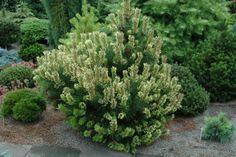Pinus mugo `Sunshine' - Stanley and Sons Nursery