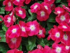 1,000 Vinca Seeds Pacifica XP Cherry Red Halo BULK SEEDS