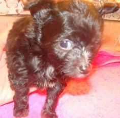 Adoption donation $599AGE: Born 10/22/13     WEIGHT: TinyUp to date on all vaccinationsMeet Nicky Elf! She is one of Snookie's tiny, adorable little girls. Snookie is a affenpinscher/chihuahua mix who was pulled from a high kill shelter while...