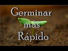 Cómo germinar una semilla más rápido-100% efectivo. | Huerto Urbano Villarreal - YouTube