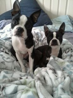 Chevy & Essi    our babies Boston terriers