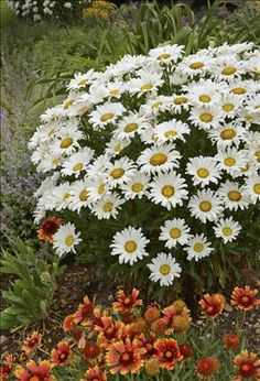 Daisy May Shasta Daisy (Leucanthemum superbum DAISY MAY®) Incredible flower power, long blooming--hands down the best Shasta Daisy out on the market.