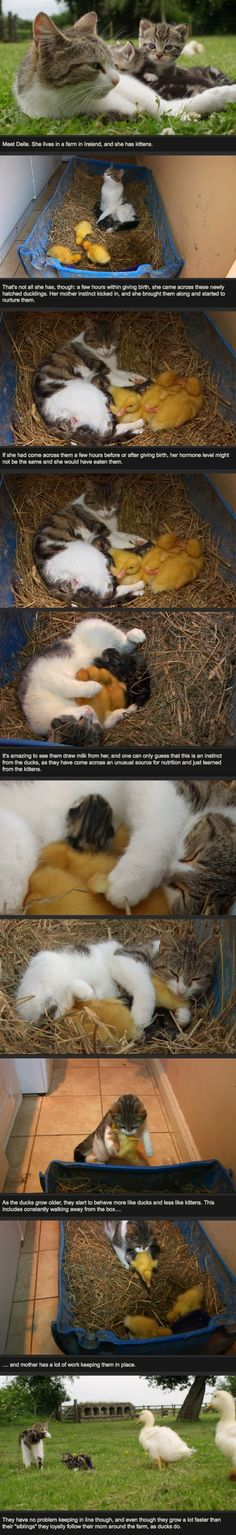 Cat adopts ducklings | Webfail - Fail Pictures and Fail Videos