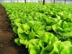 Cultura salatei in solar Lettuce, Vegetables, Garden, Plant, Garten, Lawn And Garden, Vegetable Recipes, Gardens, Gardening