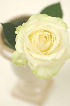 Rose アバランチェ 白    花の出回り時期:通年 花言葉:私はあなたにふさわしい・愛の吐息・純潔・私はあなたを尊敬